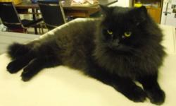 Breed: Domestic Long Hair-black Domestic Long Hair-black   Age: Adult   Sex: F   Size: L As I'm such a sweet, gentle girl, I'm allowed to wander free at the FVHS. I have the most beautiful, lustrous, long black coat, I'd make a very elegant addition to