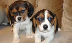 I have a tri coloured 50/50 cross female Cavalier King Charles Spaniel/ Beagle cross. Puppy  have been vet checked are healthy, have first shots, are eating Purina Puppy Chow, dewormed every 2 weeks by me and come with a 1 year puppy health guarantee.