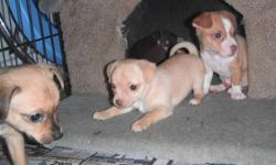 3 Little girls. Mom is a chihuahua terrier mix, dad is chihuahua. Will be vet checked vaccinated and dewormed. They are being raised in my home with my children and other dogs. Two of the girls were born with naturally docked tails like their mother.