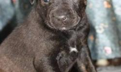 Breed: Labrador Retriever American Staffordshire Terrier   Age: Baby   Sex: F   Size: L Yvette's puppies will be available for adoption January 11th, 2012.     They will have their first set of vaccines, dewormed, and microchipped.     Their adoption fee
