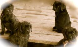 We are offering some really wonderful female English Mastiff Puppies at a truly unbelievable price. I have 4 puppies available from beautiful Amber she is AKC registered and 140 lbs. The sire is our stunning 217 lb AKC registered brindle male Cashious