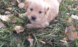 We have 1 female Golden Retriever Puppy available and ready to go this week. She was sold but due to unforseen circumstances she is available again. She has her first set of vaccinations and has been dewormed and vet checked. I can provide free delivery