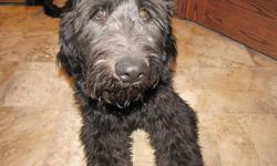 Female GoldenDoodle, 6 months old. Non-shedding coat, black. Fully trained. Excellent with children and other animals. Calm temperament, and low maintenance. Doesn?t bark or chew. We just don?t have the time or space for her. Serious inquires only please.