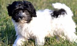 We have some very cute Havanese puppies available to good homes. Boys and girls in a couple different colors. They are a part of our family, living in the house. We have kids that pick them up and play with them constantly throughout the day. They are