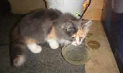 Very friendly female polydactyl (many toes) kitten. Lives in the car garage with our three dogs and isn't afraid of them. Five toes on the front paws, six toes on the rear paws. Litter trained and eating hard food. Great with little kids (I have a 18 mth