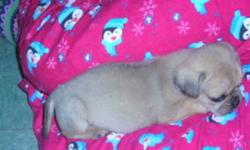 There is one female puggle puppy left , Lightly colored , very cuddly & friendly , Active, loveable & great with kids , The mother was a puggle & father a pug , we own both mother & father