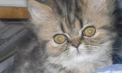 I have two beautiful female Himalayan kittens who are available to go to new homes.   Lucy is going to be an awesome mix of both her mother and father.  Sinjin is a seal lynx point and Lady Jane is a tabby.  Intially she looked more tabby, however each