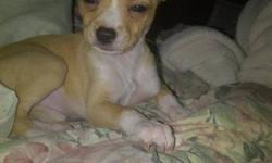 Hey, I have a female teacup chihuahua for sale, she is CKC registered. Her name is Taco and she was born August 20th 2011. She is currently less than 2 lbs and won't grow any bigger then 4 lbs. She comes with her first shots, deworming, toys and the food