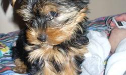 Yorkshire terrier for FINAL great sale !! ONLY ONE FEMALE LEFT !!! FEMALE Pure breed Vet checked Parents on site This Breed does not shed and is Hypoallergenic. They will mature to be 5-6 Lbs adult size, silver and tan colour. Home raised Pee pad trained