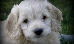 8 Beautiful First Generation Cockapoo Puppies ready for rehoming. 2 Blond Males and 2 Dark Apricot Females remaining.  I tend to take close up pictures.... puppies are smaller than they appear... Maturing weight between 20 ? 25 lbs full grown with wavy,