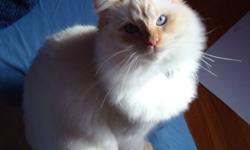 Male Flame Point Lynx Ragdoll for sale. Born April 14th, 2009. His name is Icarus and is affectionate, loves kids. We are moving into an apartment that does not allow animals and must find a good home for him as soon as possible. He is a TICA certified