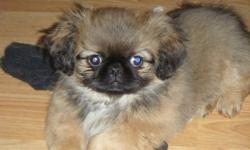 Little balls of fur PUREBRED PEKINGESE puppies for sale. 2 males, very playful and cuddly. mom and dad are both about 6 lbs photos are of puppies and mom and dad please call 7058627496 or email me for more info :)