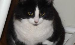 Meet CARLY. She's a very small girl although her photos make her look larger than she is. She 's a gorgeous fluffy black & white adolescent who recently came into care with HOLLYS HOPE CAT RESCUE. She was abandoned with her siblings & mom by a previous
