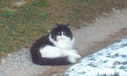 Found Black and White Long Hair cat a few months ago Finally let me pat it today, been feeding for a few months now Adorable meow Likes to roll around This is not a stray he/she comes from someone! Guessing 3-5yrs of age