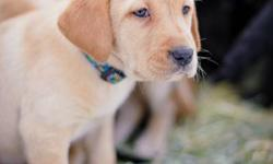 Labrador Retriever Puppies In time for Christmas! Immunizations & dewormings included as well as 8 week vet check and a health guarantee. Fox Red or Yellow $400 Call Shauna 250-804-9432 250-675-4484 leave message Newsomcreek Labradors