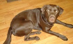 FREE- chocolate lab/ Rotti. Male and is named Bear. He is brown in colour and is a medium to large size dog about 100lbs. He will be 3 yrs in March exact date unknown. He is a loveable lab. He is great with children of all ages. We are hoping to give him