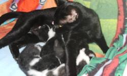 4 FREE ADORABLE KITTENS ...1--BLACK, 3--BLACK & WHITE .LITTER TRAINED, EATING SOLID FOOD. MUST GO TO FOREVER PET FRIENDLY HOMES.. READY TO GO