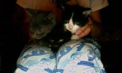 Gorgeous, friendly male kittens free to good homes. Have been dewormed. Have been raised indoors and are great with dogs too. Delivery available. Black and white one still available!!!!!