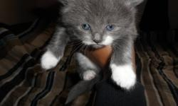 We curretnly have 1 male grey n white fluffy kitten left of 4  . 3 weeks old  will be ready to go to their new homes Oct 7 2011 at 6 weeks old, will be eating drinking and litter trained upon leaving to their new homes SERIOUS INQ ONLY   1 Kitten Left