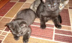 hi i have three kittens that need to find a good home one black male one tabby female one black female also the mother cat is a rescue kitten that grew up, she is about 2 years old and needs a home too, as one person is the house has bad asthma, also