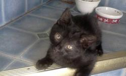 Bear is a beautiful completely black 9 week old male kitten. He is very playful, litter trained and on both hard and soft food depending on what you would prefer to give him. He has been around dogs and young children.  He has been vet checked because