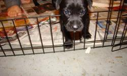 7 Lab, Rottie mix pupps.They look more like the mother but they will have short fur....5 Female, 2 Males! The Mother is Lab mix,The father is Rottie,Doberman.Very friendly well mannered dogs.Great with people,kids,and other animals! :) first or second