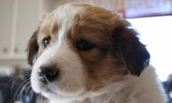 I have 3 male border collie/great pyrenese cross puppies to give away to good homes. These pups are friendly, loving, and loyal companions. They are 3 months old and looking for new families to call their own.