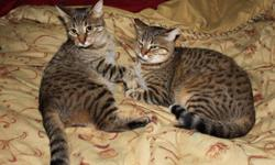 Free to a good home two beauitful sisters, fixed, one is declawed all cats items to go with them. Both are indoor cats and have never been separated, abandoned in a box when they were very young. Almost a year old, one likes to give kisses to show you