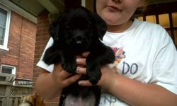 Flea treated with advantage, de wormed   come from a litter of 9 raised so far by family with 4 kids. 3 left, all female . 2 black 1 yellow full of personality. must go! 927 3561
