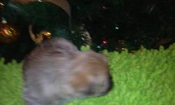 french buldog - schnauer cross  3 females four males  9weeks old great with kids