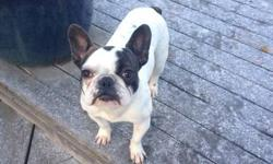 Female Pied French Bulldog For Sale -9 months old -Petite at 15 lbs -Crate trained and up to date on her shots Very friendly, loves people big and small. Looking for the perfect family home!