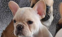 """""""YOUR NEW BEST FRIEND AWAITS!!""""   www.maandpawfrenchbulldogs.com     CKC French Bulldog Puppies Available!!   Cream Female with Rare Blue/Green Eyes $2800   Your new Puppy will be Microchipped, Vet Checked, Healthy, Well Socialized, Spoiled & Up to Date"""