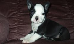 Beautiful litter of French Bulldog x Boston Terrier puppies now ready to meet their new families.  These pups are very social and outgoing.  They are very intelligent and will make an excellent family pet. Pups go home with 1st vaccination, deworming and