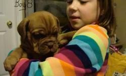 Pure breed Dogue De Bordeaux puppies for sale. Mom and Dad live in house and not out side in kennels. These are big dogs but also very friendly. They love kids. They come vet checked and needled dewormed, will not be Reg. Both mom and dad are very