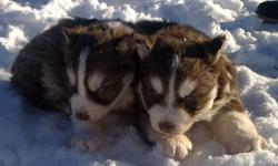 I have two full breed Siberian husky male pups for sale. They are 5 weeks old, they are DE-wormed! looking for good homes as soon as possible! If interested please contact me at (709) 488-0997. Ask for Ken