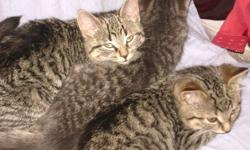 These two brothers were rescued from a shed and are now looking for a safe place to grow up and play in. They have been vetted with first shots, deworming and revolution.   Galileo is a big boy and a teddy bear. He is happy to play with his brother all