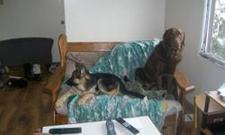 I have 5 german shepherd cross chocolate lab puppies for sale. Mother is German Shepherd and father is Chocolate Lab. 3 females and 2 males. They were born Nov/7/11.