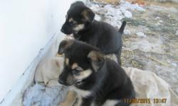 Reduced... Looking for new homes, for 4 female, German Shepherd/Cross puppies. Dad is full bred German Shepherd, Mom is Shepherd/Lab. Puppies are healthy and very playfull. Need someone to love,play with, and protect. Puppies are doing very well at potty