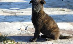 3 playful German/Dutch Shepherd mix puppies for sale.   Family raised in the country, ready to go. Parents on site. Vet checked, shots and dewormed. $350. Call 905-662-8027. Located in Stoney Creek.