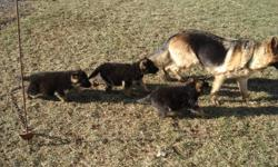 GERMAN SHEPHERD PUPPIES.  Only 3 females left for sale.  The puppies are black and tan in colour and dewormed.  Both parents are also on site.  Call (905) 772-3776 or (289) 440-3776.  No e-mails please.