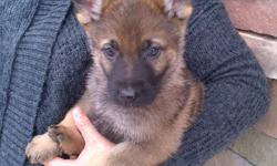 German Shepherd Puppies. Litter is CKC Registered. Puppies have had their first shots, been dewormed and mirco-chipped.  We have spent a lot of time with the litter and their personalities are fantastic. We are expecting a baby of our own in about 3