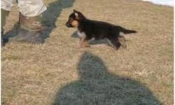 ***expecting litter of german shepherd puppies*** in february BOTH parents are 100%pure breed shepherds, black and tan , straight back,big dogs extremely smart and obedient         extensive training for guard dogs has been completed with each one.and