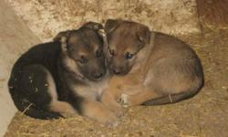 German Shepherd pups.dewormed.not registered.males and females.no other photos. farm raised.mother on site.resonably priced.Phone calls preferred(if by chance you  get the  answering machine,leave your phone number and I will call you back.)