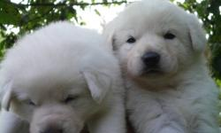 WHITE German Sheperd PUPPIES, Sire is a LONG HAIRED WHITE German SHEPHERD AND the Dame is a SHORT HAIRED WHITE GERMAN SHEPHERD..SO we have a LITTER OF Various WHITE COAT lenghts TO CHOOSE from. Note....all Puppies are Already TOILET TRAINED .!!!!. Long