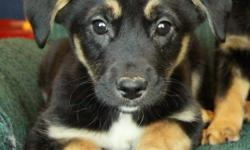 We have beautiful German Shepherd X puppies now available to new homes. There is now 1 male left in the litter. They are black/tan in colour and have smoother hair. They were born on November 2 and are now ready to go at 10 weeks old. Their mom is a