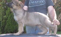 Two large boned masculine red sable males.  Both good show and pet prospects.  Good pedigree.  Respectable bloodlines.  These puppies are in excellent health, have been vaccinated and thoroughly examined by our vet.  They are clean and free of parasites.