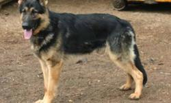 BEAUTIFUL GERMAN SHEPHERDS   THE PUPS ARE IN EXCELLENT HEALTH AND GUARANTEED. THEY ARE VACCINATED ,DEWORMED AND HAVE BEEN TREATED WITH REVOLUTION FOR THE PREVENTION OF FLEAS AND PARASITES . THE PUPS ARE SOCIAL AND THE PARENT Simba x Brandi Europeon