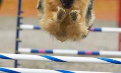 "UNICA Kennels just got a litter of the ""good old kind"" of German Shepherds > Shepherds like they used to be:  nice, big, solid, well tempered dogs with a STRAIGHT back!  Shepherds like they used to look and be.<                   My goal always was to"