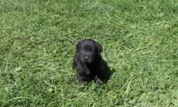 3 Sheppard/Black Lab Puppies  ready to go.     1 Black Female   2 Black Males   Will be dewormed prior to leaving for their new homes.   Serious enquiries only Please!