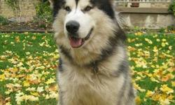 Amazing Giant Alaskan Malamute, just over 2 years. He's the love of our life, but we need help caring for him. Awesome personality, tons of energy, gorgeous markings. Has his full shots, and neutered. Amazing with kids and prefers to be with other dogs,
